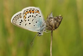 A closeup of the Silver-studded blue, Plebejus argus with closed wings on a green background