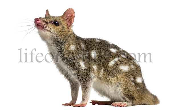 Quoll looking up, isolated on white