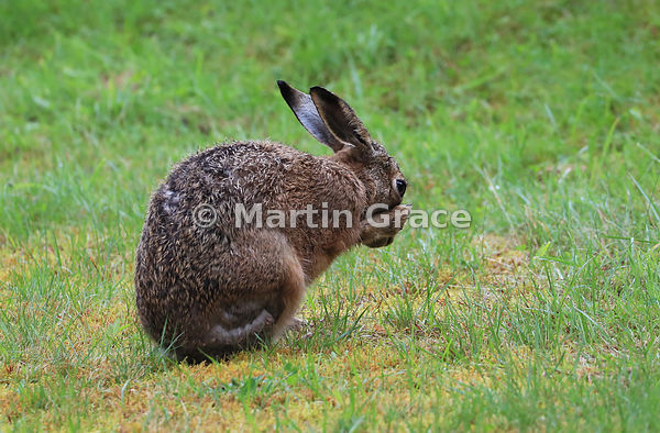 European Brown Hare (Lepus europaeus) grooming and shadow-boxing, Cairngorm National Park, Scotland: Image 3 of a sequence of 13