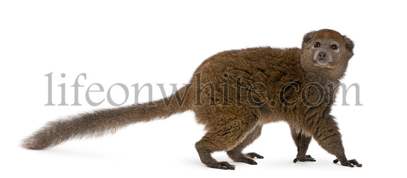 Lac Alaotra bamboo lemur, Hapalemur alaotrensis, 11 years old, in front of white background