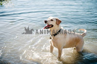 A happy yellow lab wagging her tail while standing in the lake