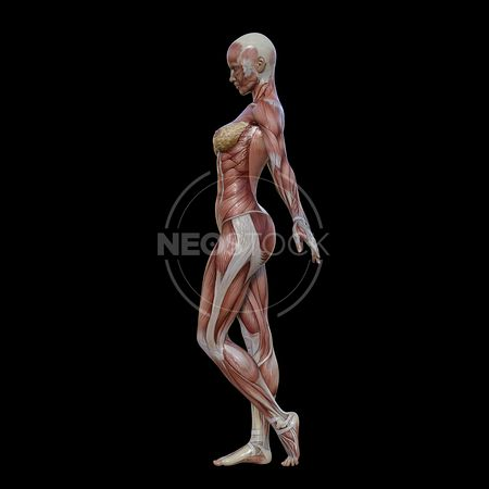 cg-body-pack-female-muscle-map-neostock-5