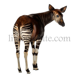 Rear view of an Okapi, looking away, Okapia johnstoni, isolated on white