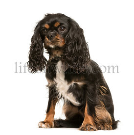 Cavalier King Charles, 1 year old, sitting in front of white background