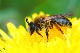 Closeup on a female grey-gastered mining bee, Andrena tibialis on yellow dandelion , Taraxacum officinale