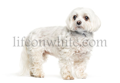 Maltese dog in front of white background