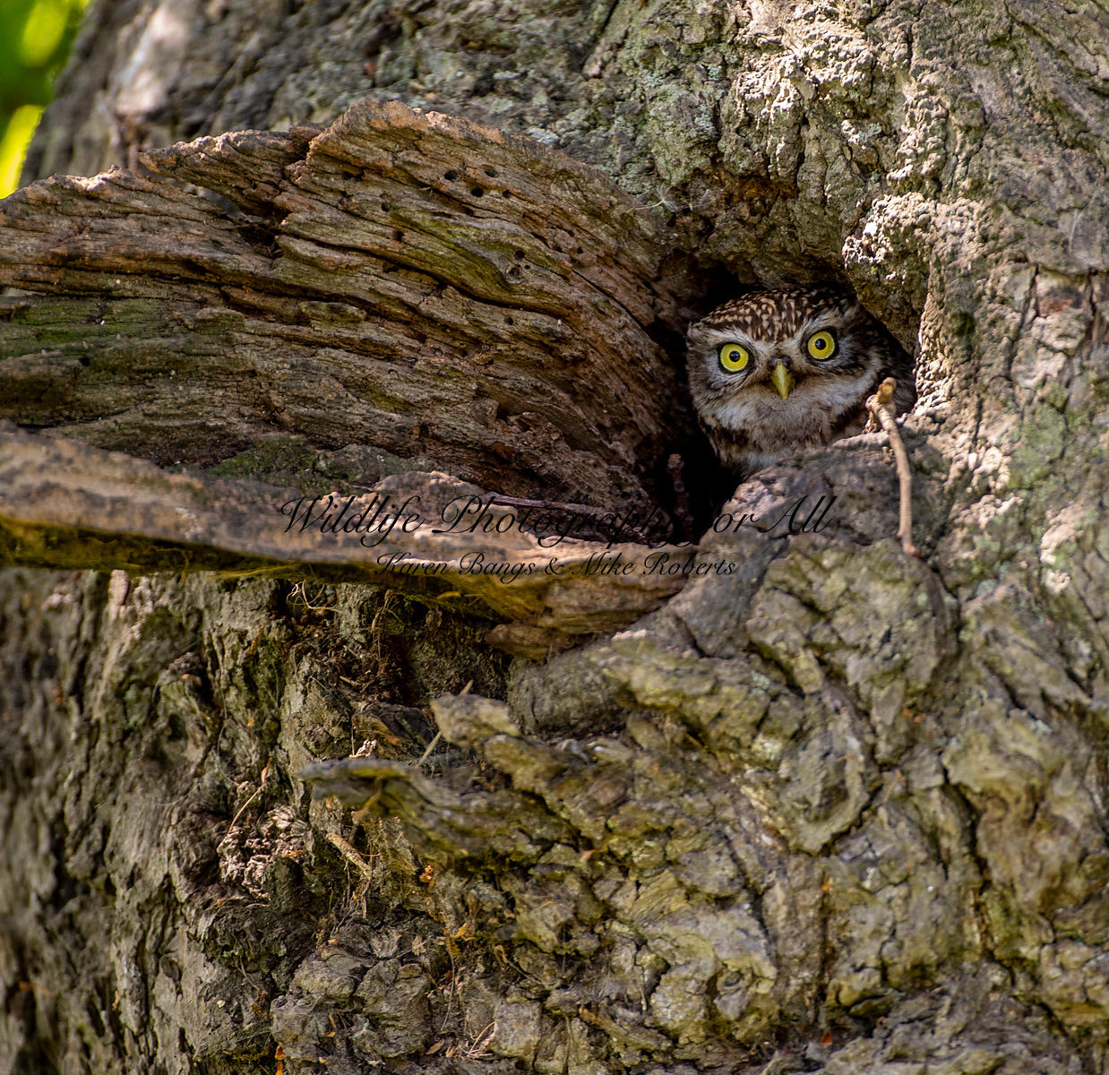 Female Little Owl - Mike Roberts