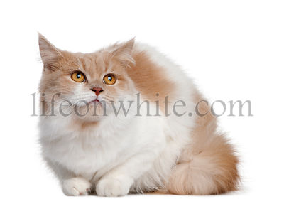 Persian cat, 11 months old, sitting in front of white background