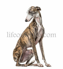 Slim galgo looking backwards, isolated on white
