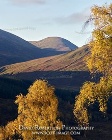 Prints & Stock Image - Mountains above Glen Lyon with Silver Birch trees in autumn colours, Perth and Kinross, Scotland.