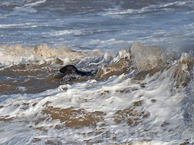 Grey Seals Halichoerus grypus  in surf North Norfolk January
