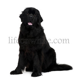 Newfoundland dog, 2 years old, sitting in front of white background
