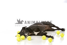 Black Staffordshire Terrier Mix Laying on White with Tennis Balls