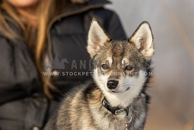 An Alaskan klee kai and it's owner