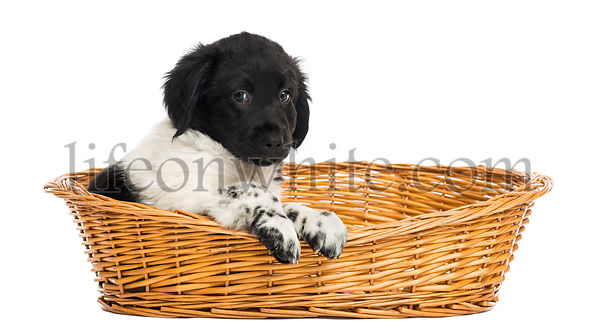 Stabyhoun puppy in a wicker basket, looking at the camera, isolated on white