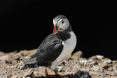Atlantic puffin, Fratercula arctica perching on rocky cliff edge and turning its head