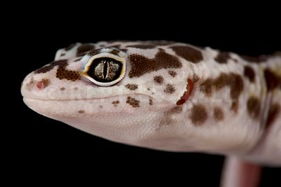 West Indian leopard gecko (Eublepharis fuscus)