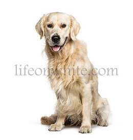 Panting Golden Retriever, isolated on white