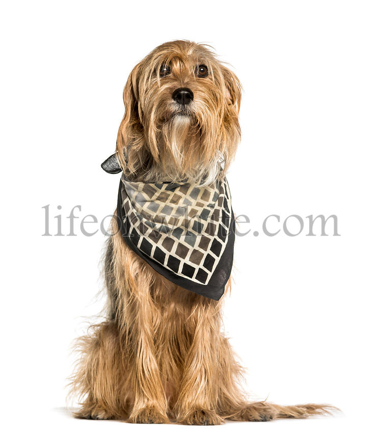 Barak or Bosnian Broken-haired Hound sitting against white background