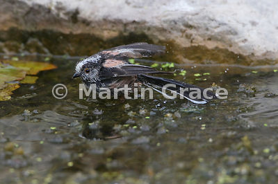 Long-Tailed Tit (Aegithalos caudatus) bathing in the garden pond, Lake District National Park, Cumbria, England