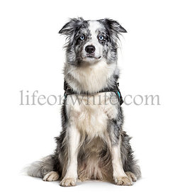 Blue Border Collie with Harness, isolated on white