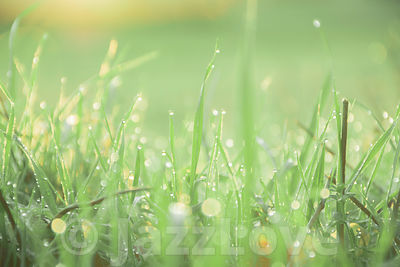 Droplets of morning dew on grass leaves.