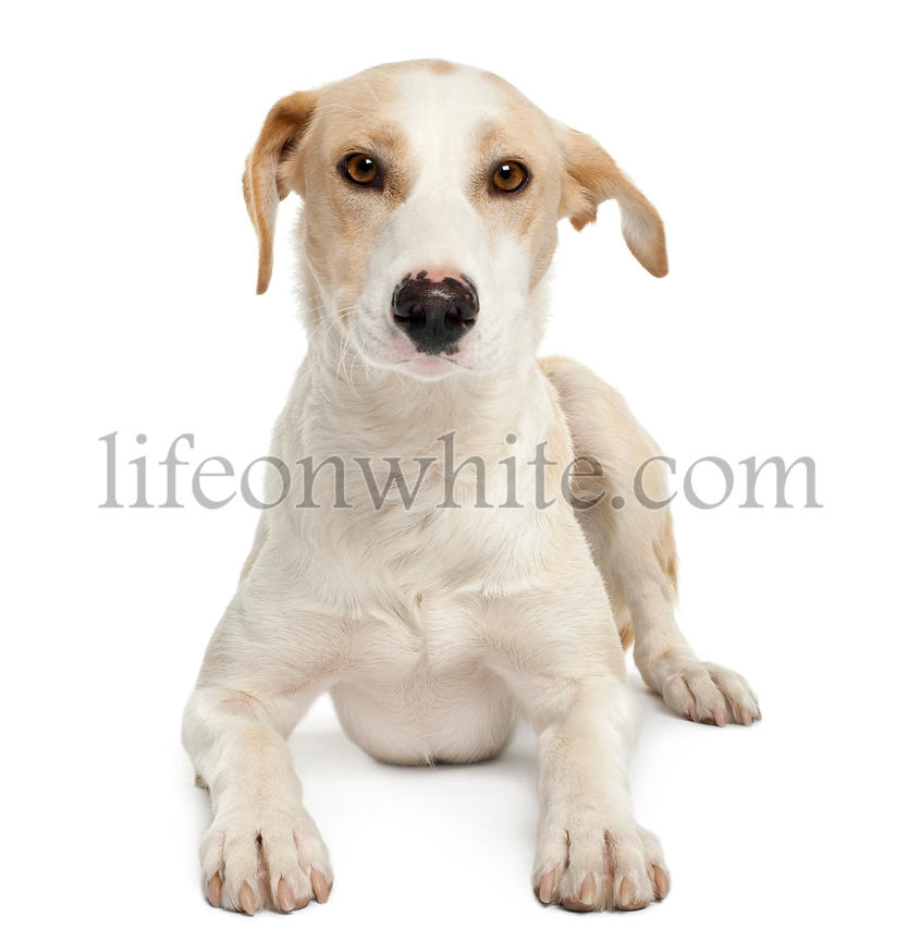 Ibizan hound, 12 months old, lying in front of white background