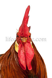 Portrait of Rooster Leghorn, in front of white background