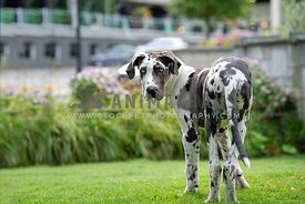 harlequin dane puppy standing up and looking back over shoulder