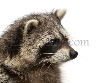 Close-up of a raccoon, Procyon Iotor, isolated on white