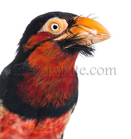Close-up on a Bearded Barbet - Lybius dubius