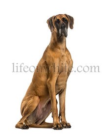 Great Dane sitting against white background