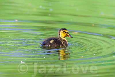 Fluffy duckling swimming in pond.