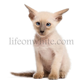 Oriental Shorthair kitten, 9 weeks old, sitting and looking against white background