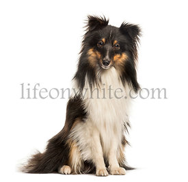 Shetland Sheepdog, 10 months old, sitting in front of white background