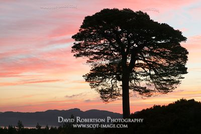 Image - Glen Affric, Scots Pine tree and sunrise
