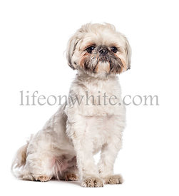 Shih Tzu, Chrysanthemum Dog sitting in front of white background
