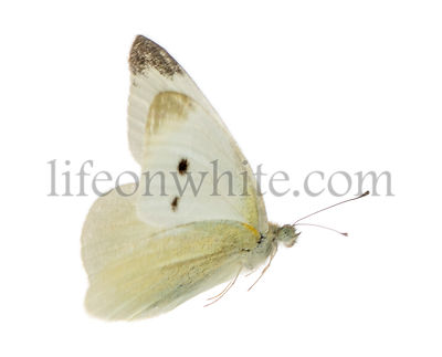 Side view of a Small White flying, Pieris rapae, isolated on white