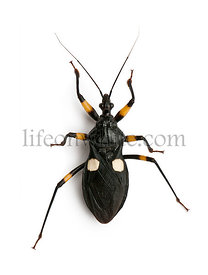 Platymeris biguttatus is a genus of assassin bug, reduviidae