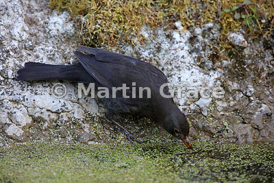 Female Common Blackbird (Turdus merula) about to drink from the garden pond, Lake District National Park, Cumbria, England