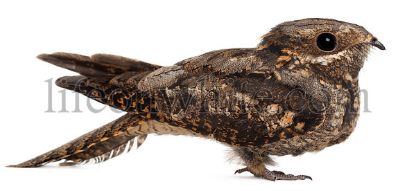 European Nightjar, or just Nightjar, Caprimulgus europaeus, in front of white background