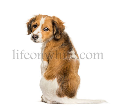 Kooikerhondje, 3 months old, sitting in front of white background