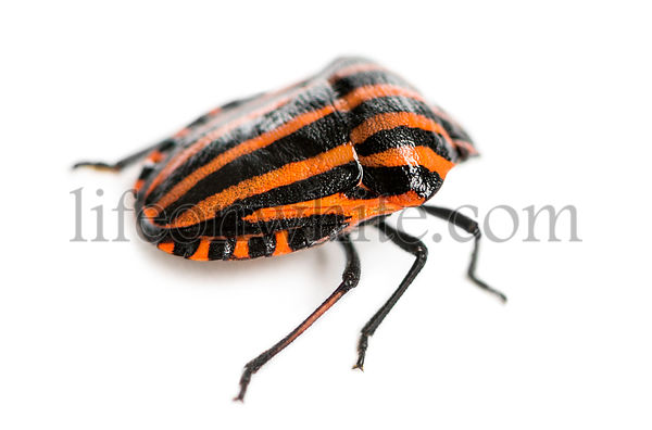 Rear view of an Italian Striped-Bug, Graphosoma lineatum, isolated on white