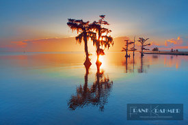 Bald cypress with spanish moss (lat. taxodium distichum) - North America, USA, Louisiana, St. Mary, Morgan City, Lake Palourd...