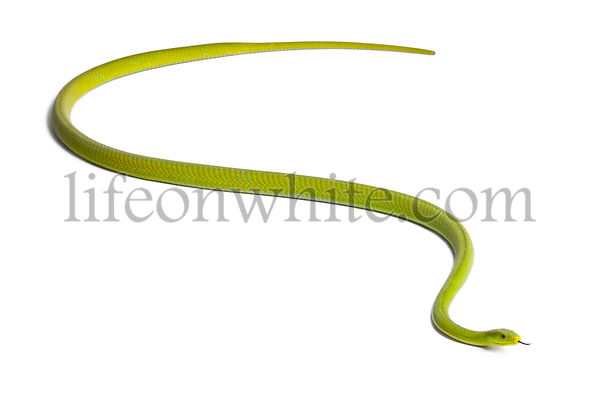 Eastern green mamba  - Dendroaspis angusticeps, poisonous, white background