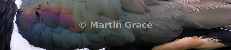 Letterbox format image of Northern Lapwing (Vanellus vanellus) plumage, Badenoch & Strathspey, Scottish Highlands