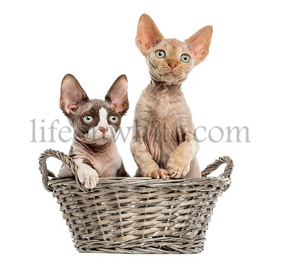Young Devon rex in a wicker basket isolated on white