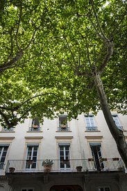 Platane le long du  Cours Franklin Roosevelt, Lyon, France / Plane tree along Cours Franklin Roosevelt, Lyon, France
