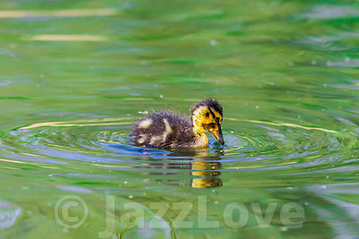 One duckling swimming in pond.