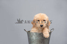 close up of golden retriever puppy in metal pail